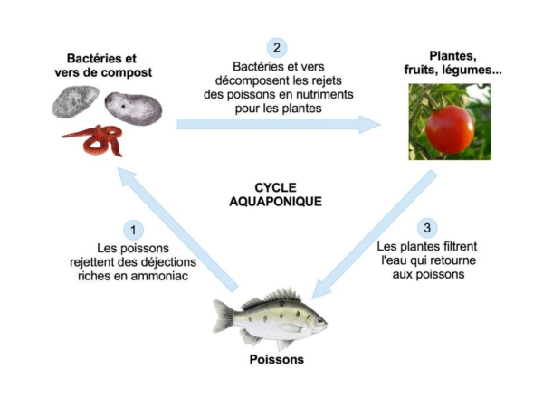cycle aquaponique